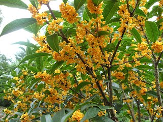 Guihua, Osmanthus fragrans